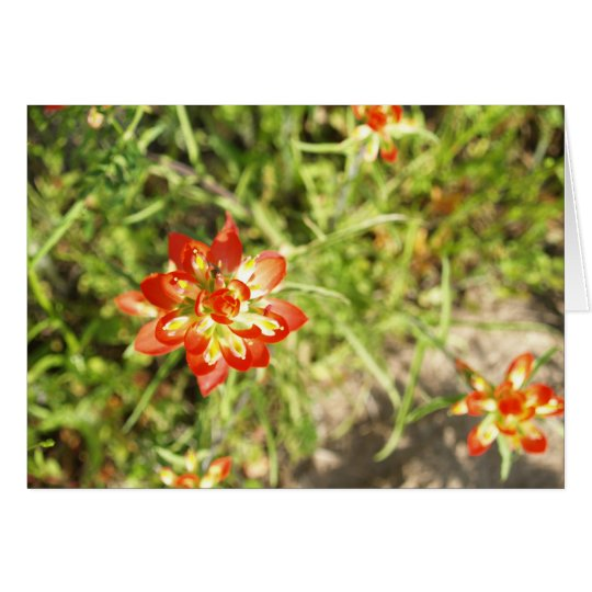 Indian Paintbrush Card