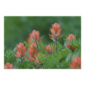 Indian Paintbrush, Castilleja miniata, Ouray, Poster