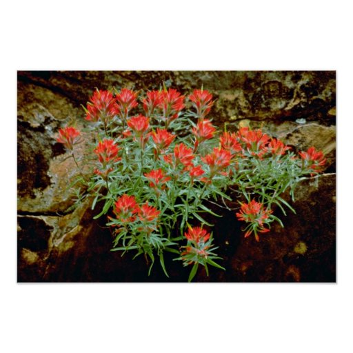 Indian Paintbrush in Zion National Park, Utah Red Poster