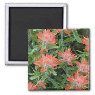 Indian paintbrush wildflowers in the Many Square Magnet