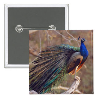 Indian Peacock with partially open feathers, 15 Cm Square Badge