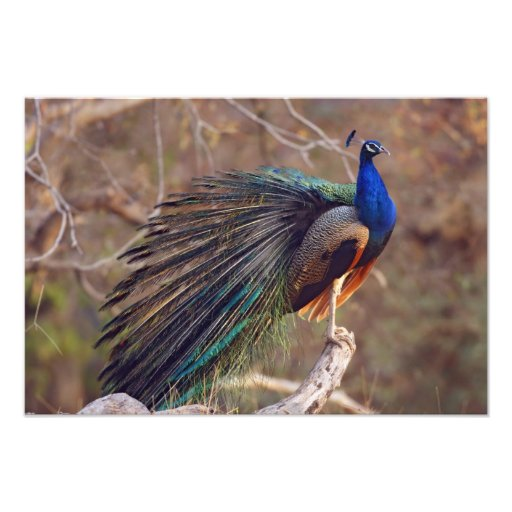 Indian Peacock with partially open feathers, Photo