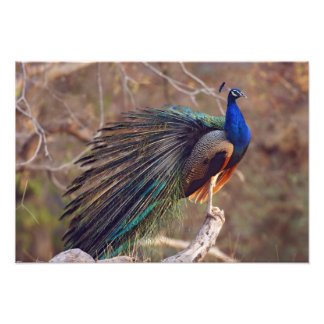 Indian Peacock with partially open feathers, Photo Print