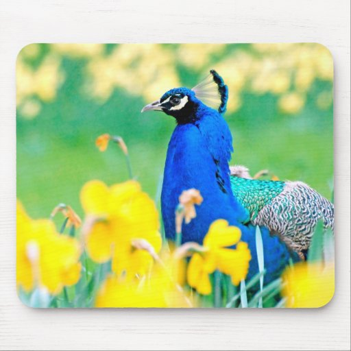 Indian Peafowl among narcissus flowers Mouse Pads