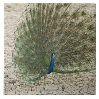 Indian peafowl, peacock, male courtship display large square tile