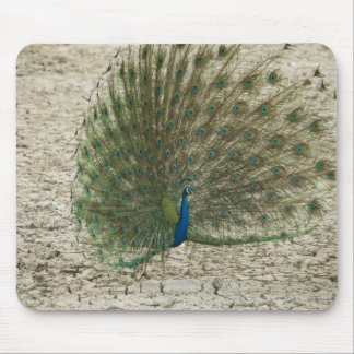 Indian peafowl, peacock, male courtship display mouse mat