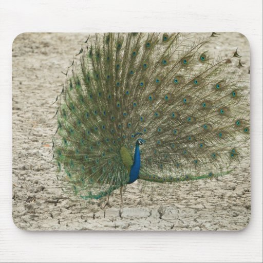 Indian peafowl, peacock, male courtship display mousepads