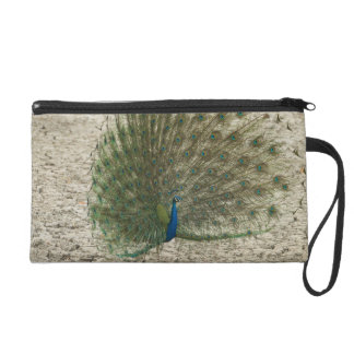 Indian peafowl, peacock, male courtship display wristlet