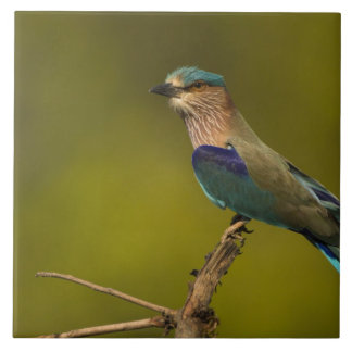 Indian Roller perched on open tree Large Square Tile