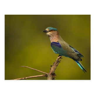 Indian Roller perched on open tree Postcard
