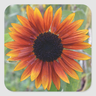 Indiana Sunflower Sticker