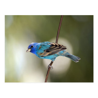 Indigo Bunting perched on bare branch Postcard