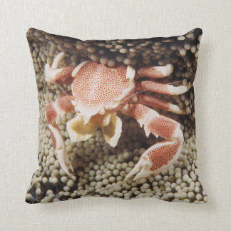 Indo-Pacific Ocean, Close-Up of Anemone crab Cushion