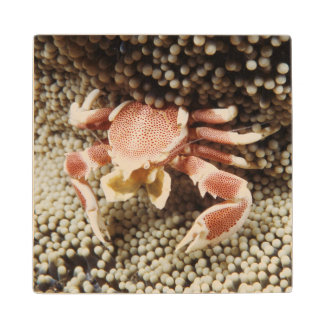 Indo-Pacific Ocean, Close-Up of Anemone crab Maple Wood Coaster