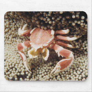 Indo-Pacific Ocean, Close-Up of Anemone crab Mouse Mat