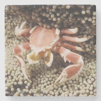 Indo-Pacific Ocean, Close-Up of Anemone crab Stone Coaster