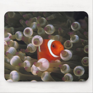 Indonesia, Komodo. Maroon clownfish, or Mouse Mat