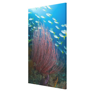 Indonesia, Raja Ampat. Yellowtail fusilier Canvas Print