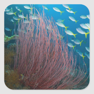 Indonesia, Raja Ampat. Yellowtail fusilier Square Sticker