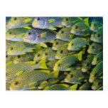 Indonesia. Schooling Fish Postcard