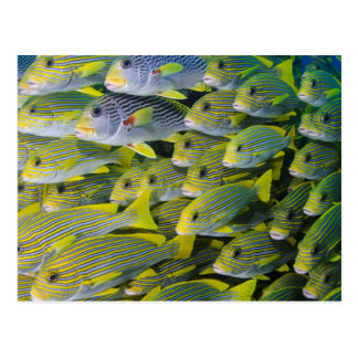 Indonesia. Schooling Fish Post Cards