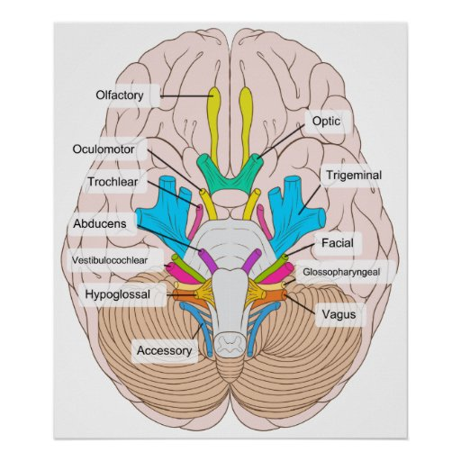 Inferior View of Cranial Nerves in the Human