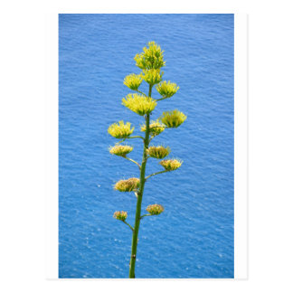 Inflorescence of Agave plant. Postcard