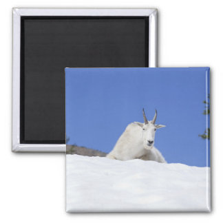 Ingalls Lake area, Billy Goat on snow Magnet