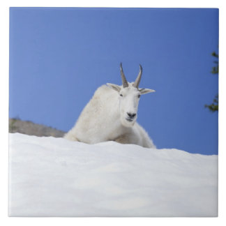 Ingalls Lake area, Billy Goat on snow Tile