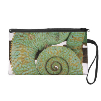 Inhabits dry mountainous areas. Indigenous Wristlet