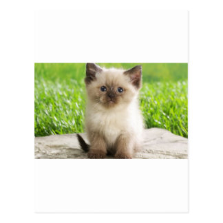Innocent Ragdoll Kitten Postcard