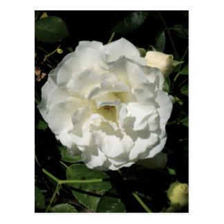 Innocent White Rose Postcards