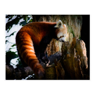 inquisitive red panda postcard