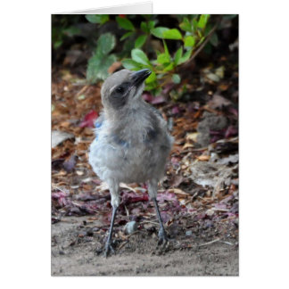 Inquisitive Young Scrub Jay Card