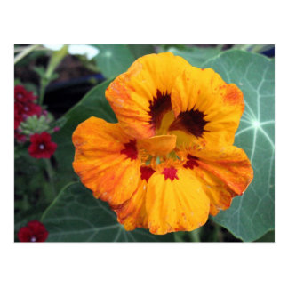Intense Yellow-Orange Nasturtium Postcard
