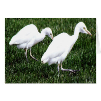 Interesting Pair of Cattle Egrets Foraging Greeting Card