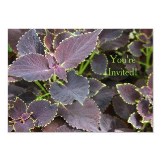 Invitation - Merlot Coleus