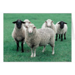 Iowa Sheep Cards