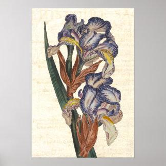 Iris 19th Century Curtis Botanical Illustration Poster