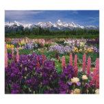 Iris and Lupine garden and Teton Range, Photographic Print