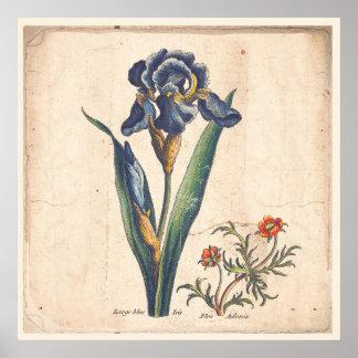 Iris Botanical Print Antique Illustration
