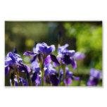 Iris Cluster 6 x 4 Photographic Print