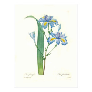 Iris fimbriata postcard