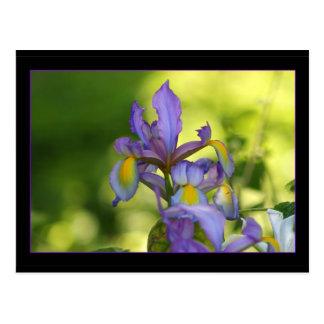 Iris flower postcard