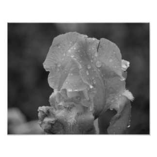 Iris Flower With Rain Drops Poster