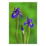 Iris Flowers Art Photo