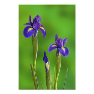 Iris Flowers Photo Print