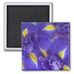 Iris flowers square magnet