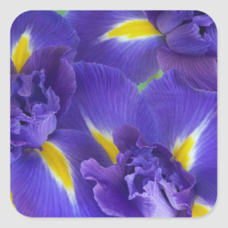 Iris flowers square sticker