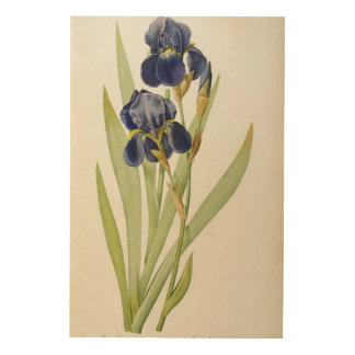 Iris Germanica, from `Les Liliacees', 1805 Wood Wall Art